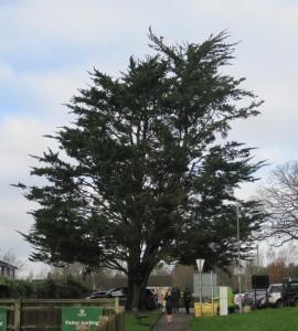 Monterey cypress 12.1.16