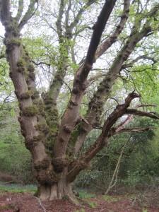 oak a